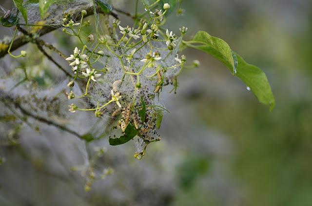 Chenilles de l'Hyponomeute sur Fusain d'Europe