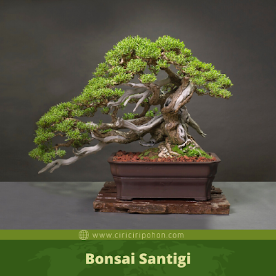 Bonsai Santigi