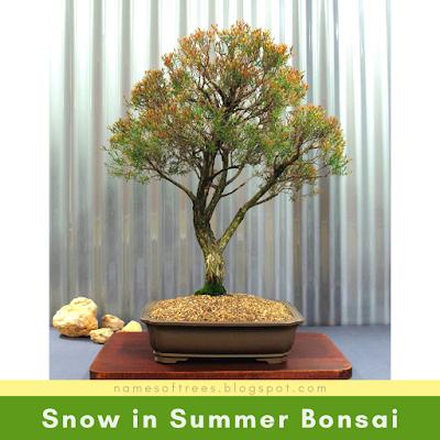 Snow in Summer Bonsai
