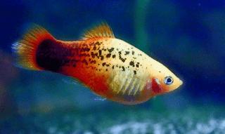 Gambar ikan Platy Pepper Pattern