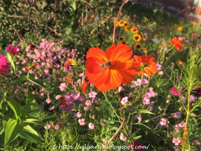 Biene auf oranger Blüte