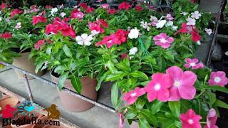 Cara merawat dan menanam bunga Vinca
