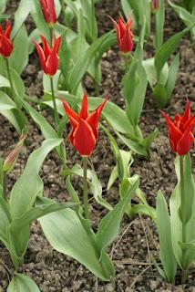Tulipes Fleur de lis - Tulipa Aladdin - Tulipe Aladdin