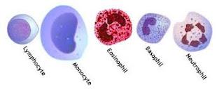 types of leukocytes