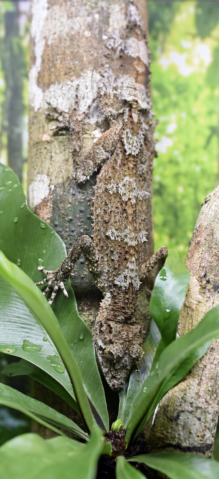 Leaf-tail gecko wonderfully camouflaged.