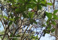 Grape-like dark fruits - near Hawaii Volcanoes National Park, HI
