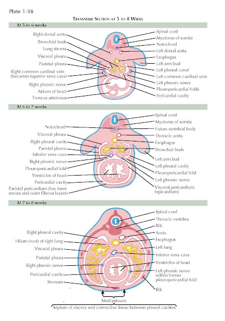 TRANSVERSE SECTION AT 5 TO 8 WEEKS