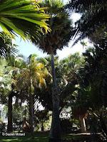 Borassus tree, Foster Botanical Garden - Honolulu, HI