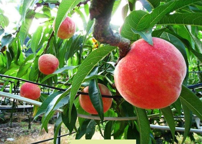 Promo Bibit buah persik bibit tanaman buah persik DELIFMART Kota Administrasi Jakarta Pusat