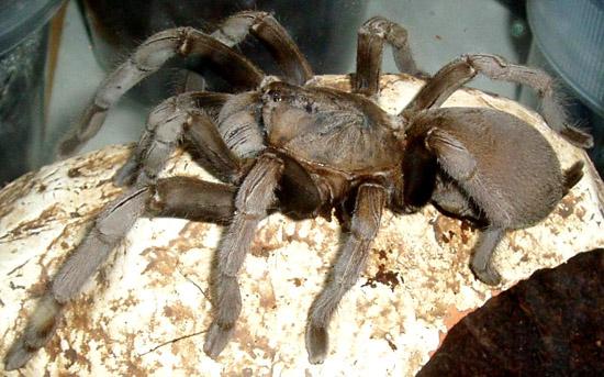 Maior Aranha do Mundo vive no Brasil-  Aranha Golias comedora de pássaros - Img 5