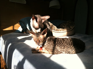 Kely and Sammy, two senior Cornish Rex, laying in the sun