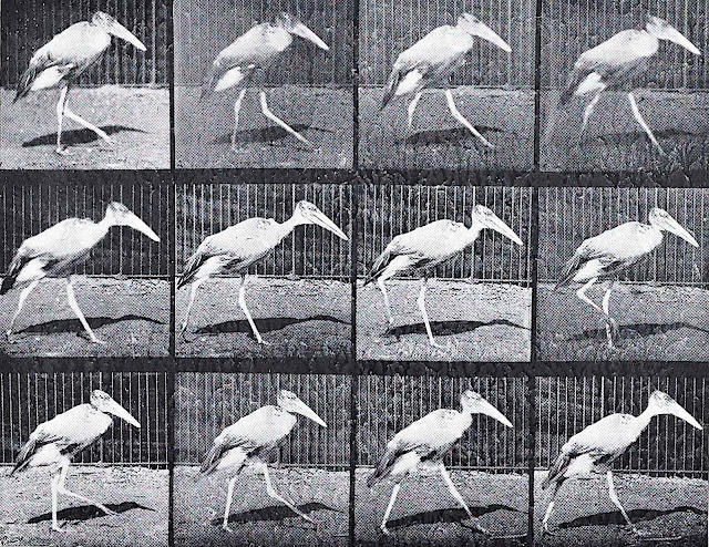 an old Eadweard Muybridge motion study of a walking crane bird