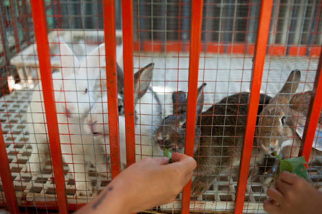 Hái rau cho Thỏ ăn