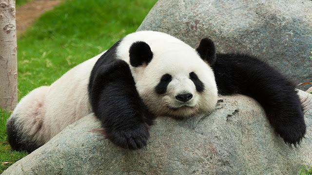 eyebag panda