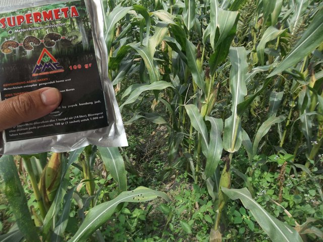 Mosa Meta - Pestisida Organik Perkebunan Untuk Tanaman Jagung