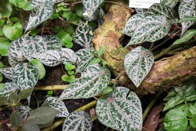 wajib tahu, inilah sederet manfaat daun sirih merah untuk pengobatan dan kesehatan manusia