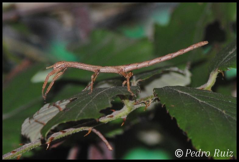 Ninfa hembra L2 de Achrioptera manga, 3,5 cm de longitud