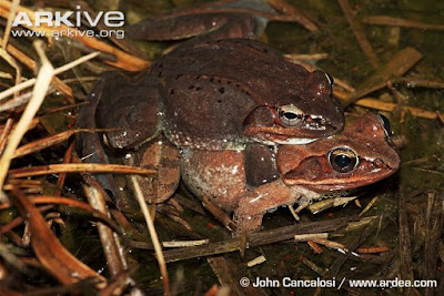 Wood frog male and female