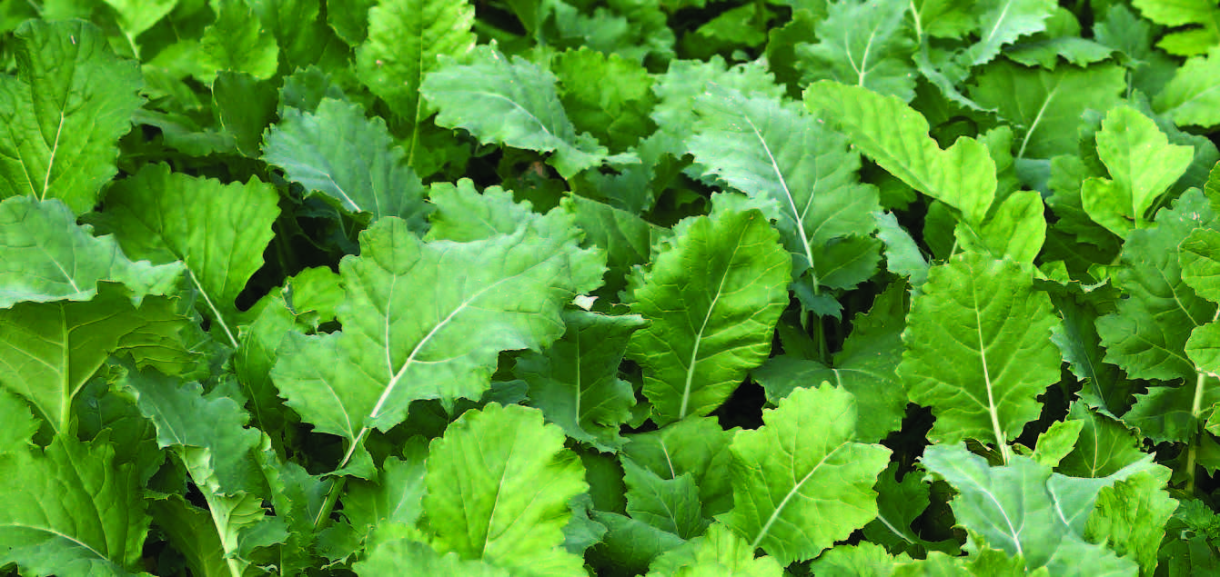 Whitetail Institute New Imperial Beets Amp Greens