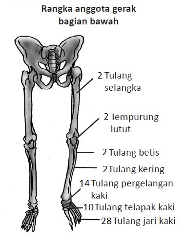 Pengertian Sistem Gerak : pengertian, sistem, gerak, Materi, Sistem, Gerak, Manusia, (Rangka,, Tulang,, Persendian), Catatan, Harian