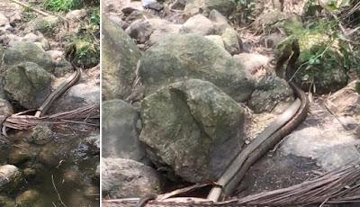 Dua ular king kobra bergulat