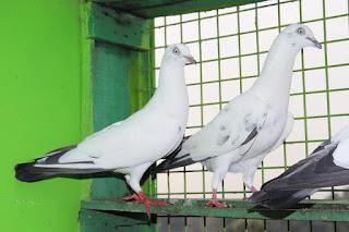 Kabutar Photo