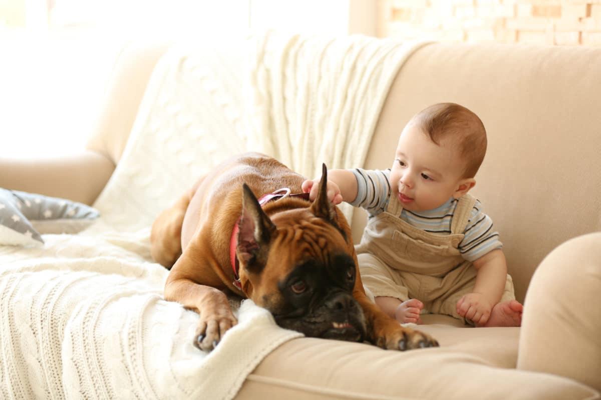 boxer dog not harmful