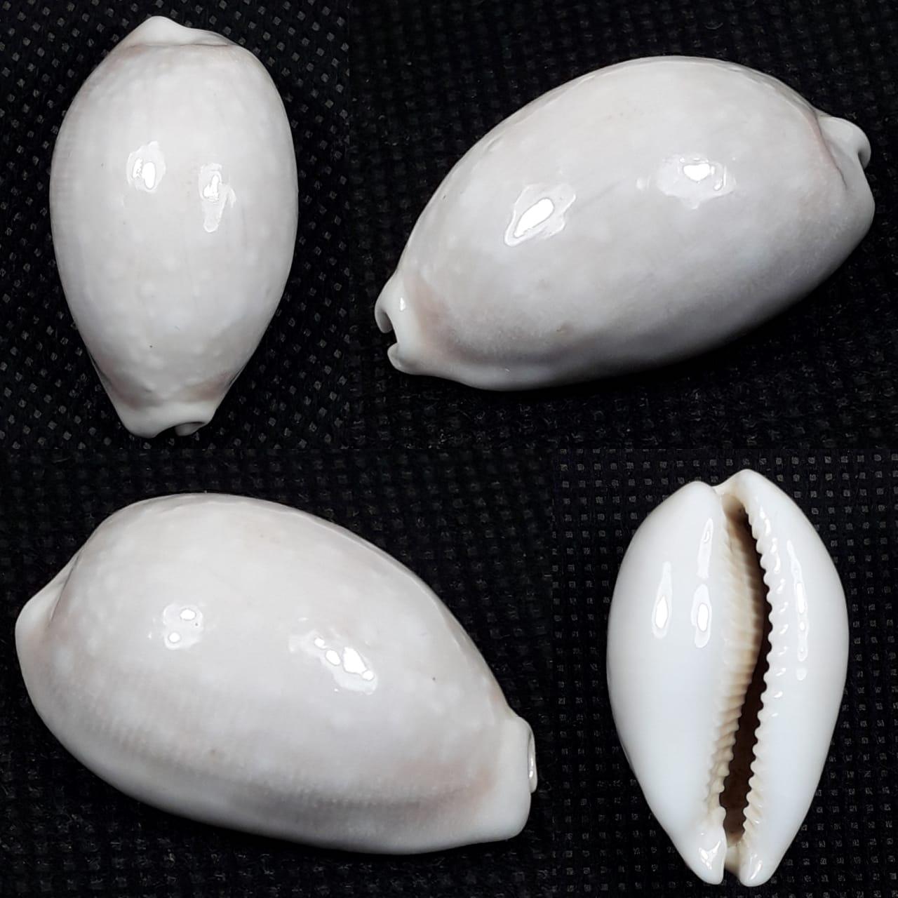 Lyncina vitellus - (Linnaeus, 1758) 8ca2bacf-9531-43f9-b326-67d3e4e1a19c