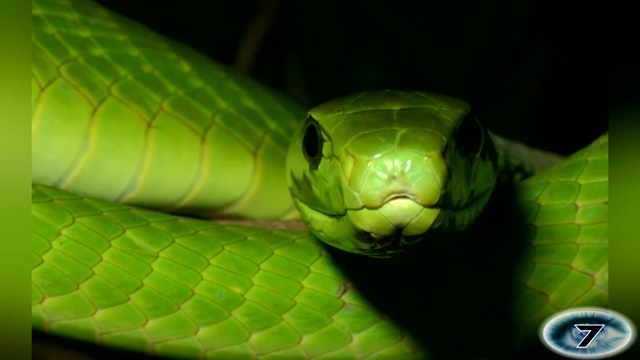 Eastern Green Mamba, most venomous snake, most poisonous snake, top ten venomous snake, top ten poisonous snake