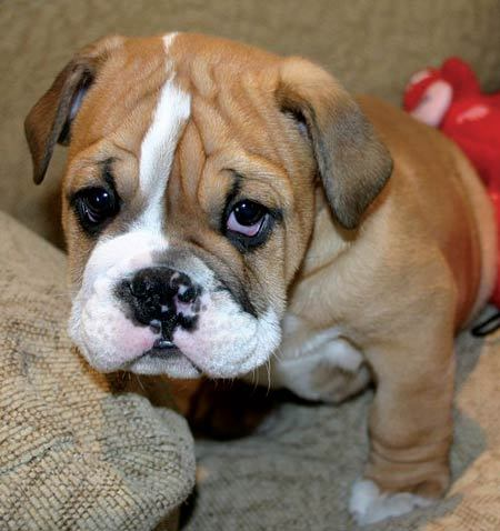 Spray Cheeze: I WILL manipulate you with my adorable puppy ... Sad Bulldog Face