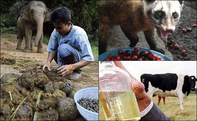 6 Kotoran Binatang yang Dijadikan Makanan dan Minuman