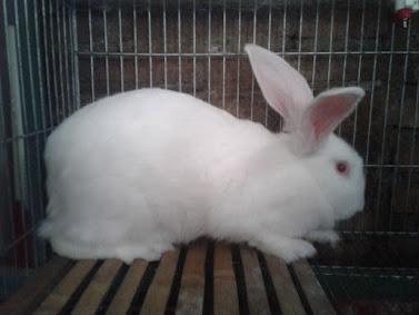 Kelinci new zealand white