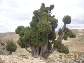 Photo foret juniperus