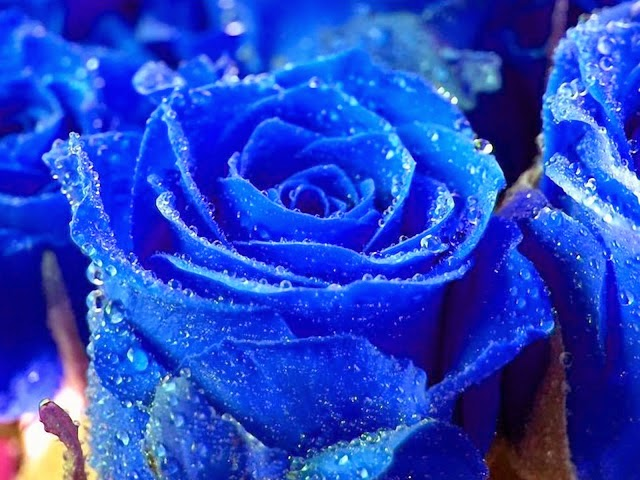 Hoa hồng xanh dương đẹp nhất