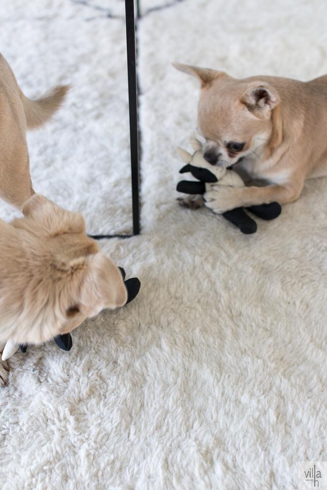 chihuahua, koirat, olohuone