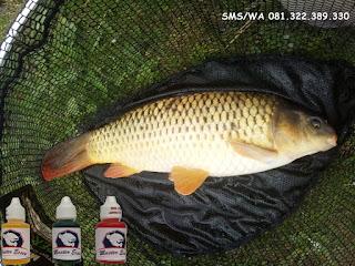 Essen Ikan Mas Subang Induk Galatama