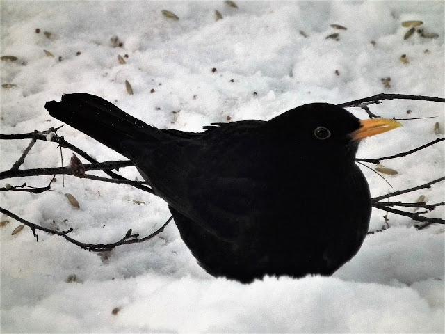 Mustarastas, talvi, lintu