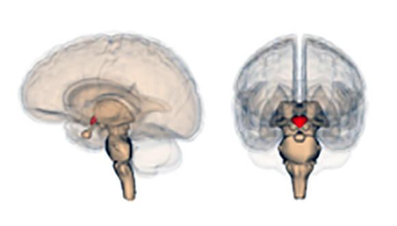 núcleos-supraquiasmáticos-do-hipotálamo