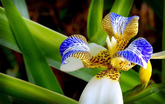 flor-da-iris-da-praia-especie-neomarica-northiana