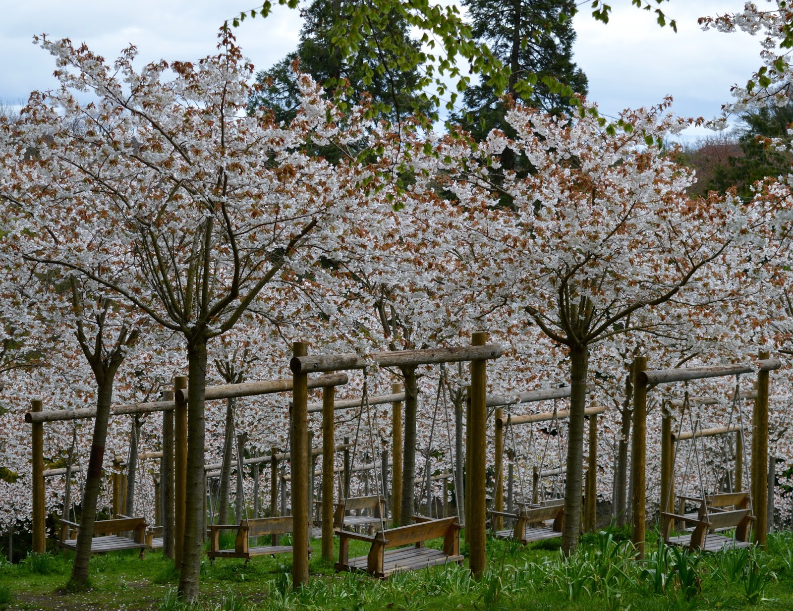 The Cherry Blossom Orchard at The Alnwick Garden  - garden swings