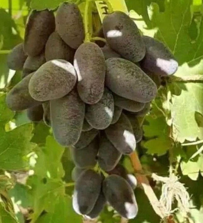 Murah Meriah! bibit buah anggur Nakodka Kalugina Kota Bandung #jual bibit buah buahan