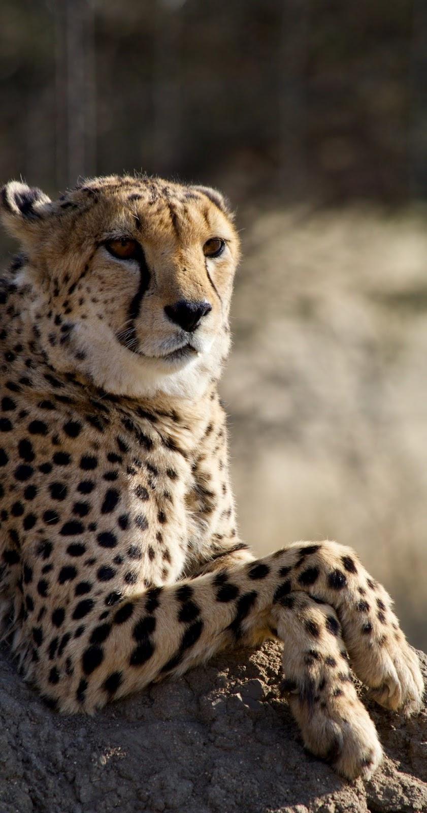 Cheetah resting.
