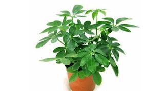 Cây ngũ gia bì là cây gì? có tác dụng gì? trồng mọc ở đâu?