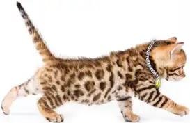 types de chats du Bengal