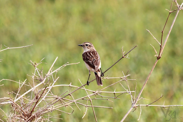 A female Siberian Stonechat