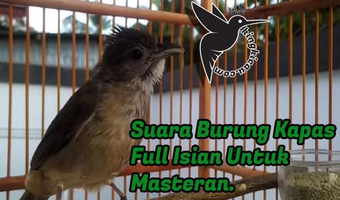 Suara Burung Kapas Tembak