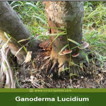 ciri ciri pohon batang pinang