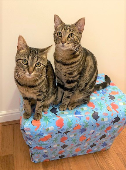 two brown tabby cats sitting on top of gift-wrapped box