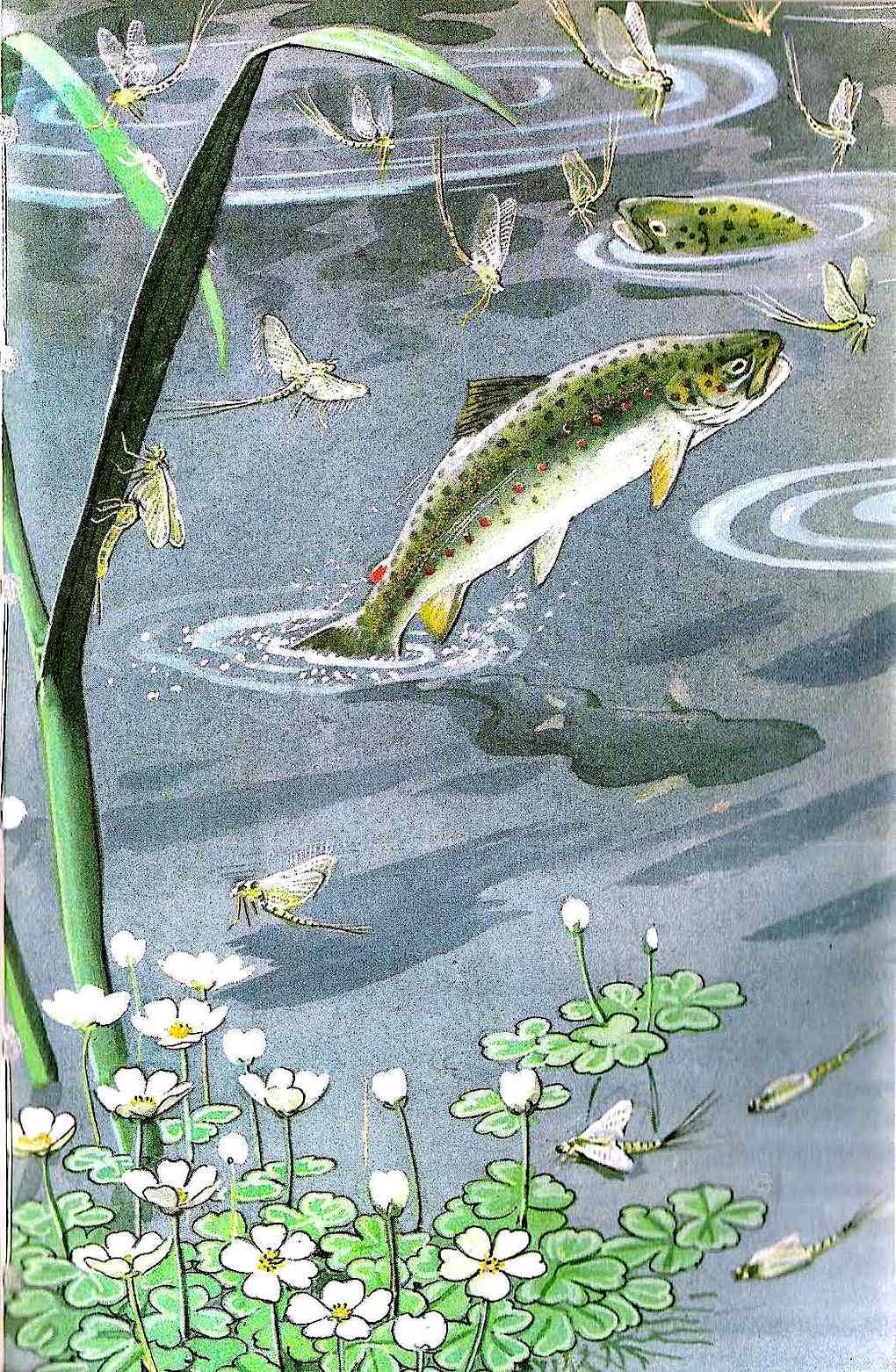 a Charles Tunnicliffe illustration of jumping feeding fish