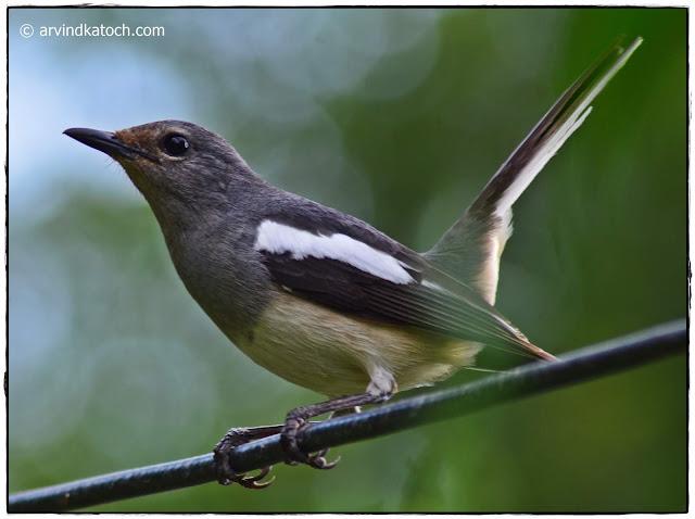Oriental Magpie Robin, female,